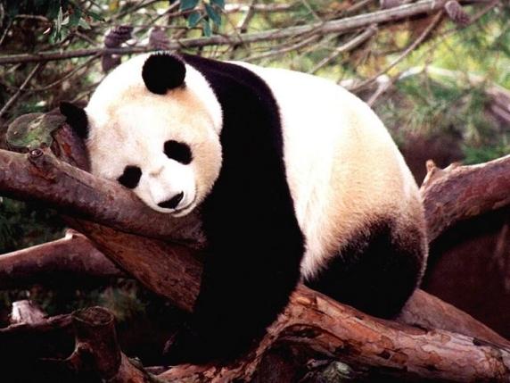 oso-panda-gigante